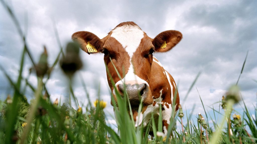 care-in-every-step_2_cow